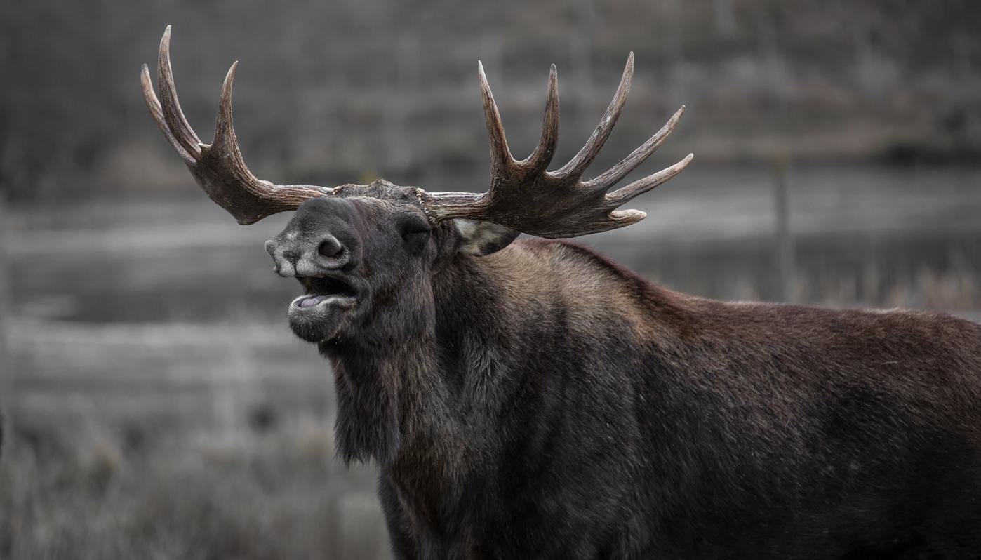 Moose watch